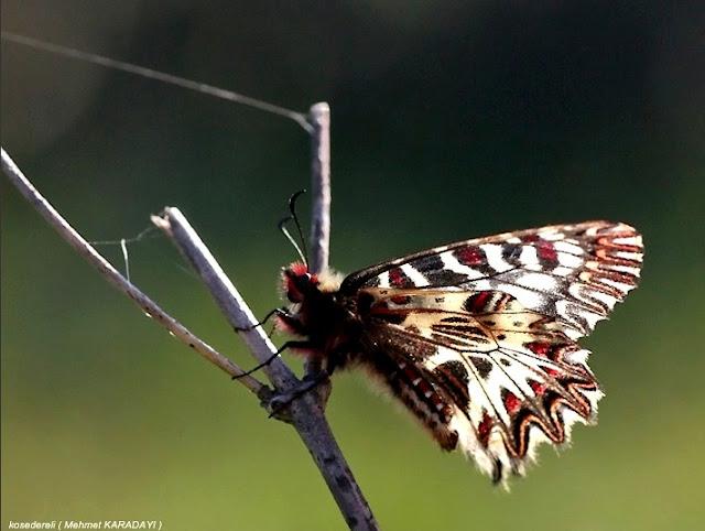 güneyli fisto kelebeğinin daldaki fotoğrafı