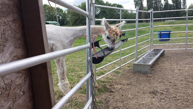 Juno, a funny alpaca, eats food through a fence