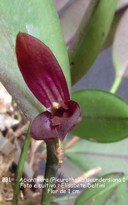 Acianthera saundersiana- variedade 1 do blogdabeteorquideas