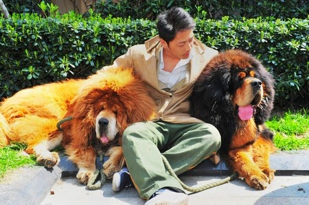 A property developer paid 12 million yuan (S$2.5 million) for the one-year-old golden-haired mastiff at a 'luxury pet' fair Tuesday in the eastern province of Zhejiang, the Qianjiang Evening News reported.