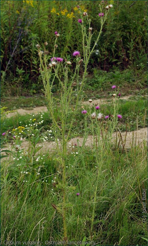 Cirsium vulgare - Ostrożeń lancetowaty pokrój