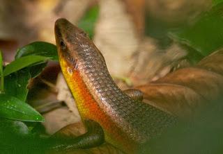 Many-lined Sun Skink (Mabuya multifasciata)