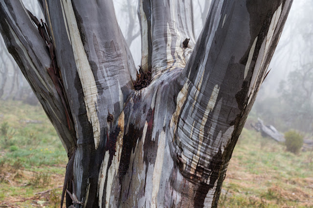 wet snow gum tree