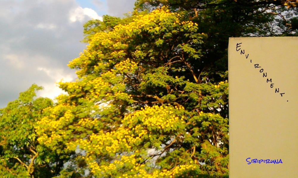 Environment primavera encantadora - Caesalpinia gilliesii cultivo ...