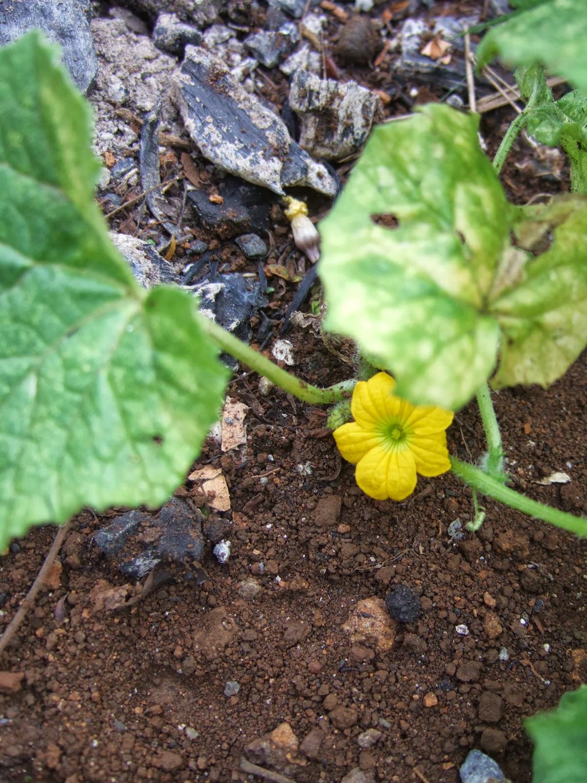 Potagers en libert l 39 le maurice quelques fleurs du potager - Fleur du soleil ...