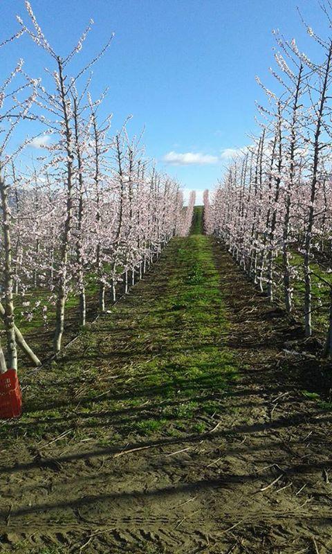 Δενδροκαλλιέργεια ''Arboricoltura''