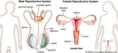 sistem reproduksi pada laki laki