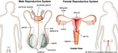 Pengertian, Fungsi dan Penyakit Sistem Reproduksi pada Manusia