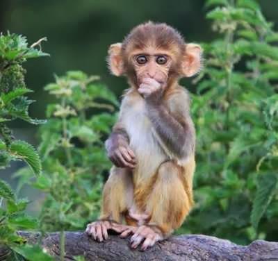Monyet Rhesus