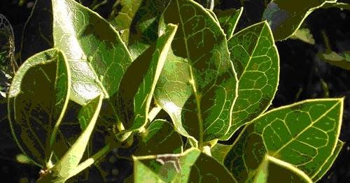 Vivero de rboles nativos naranjillo for Viveros en osorno