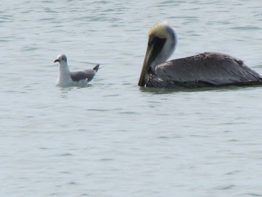 Pelican and Seagull in the Gulf off Captiva Island