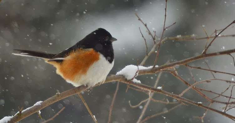 Eastern Towhee (Pipilo erythrophthalmus) in the winter.