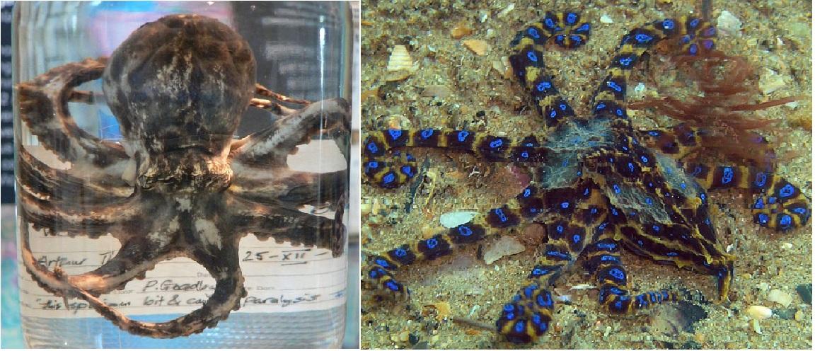 Blue ringed octopus tattoo james bond - photo#6