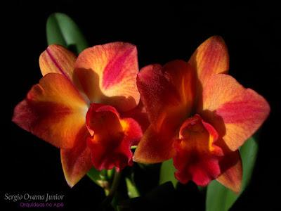 Orquídea Potinara Love Dressy 'Apple Pie'