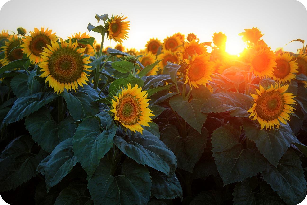 Half Assed Mama Sunflowers