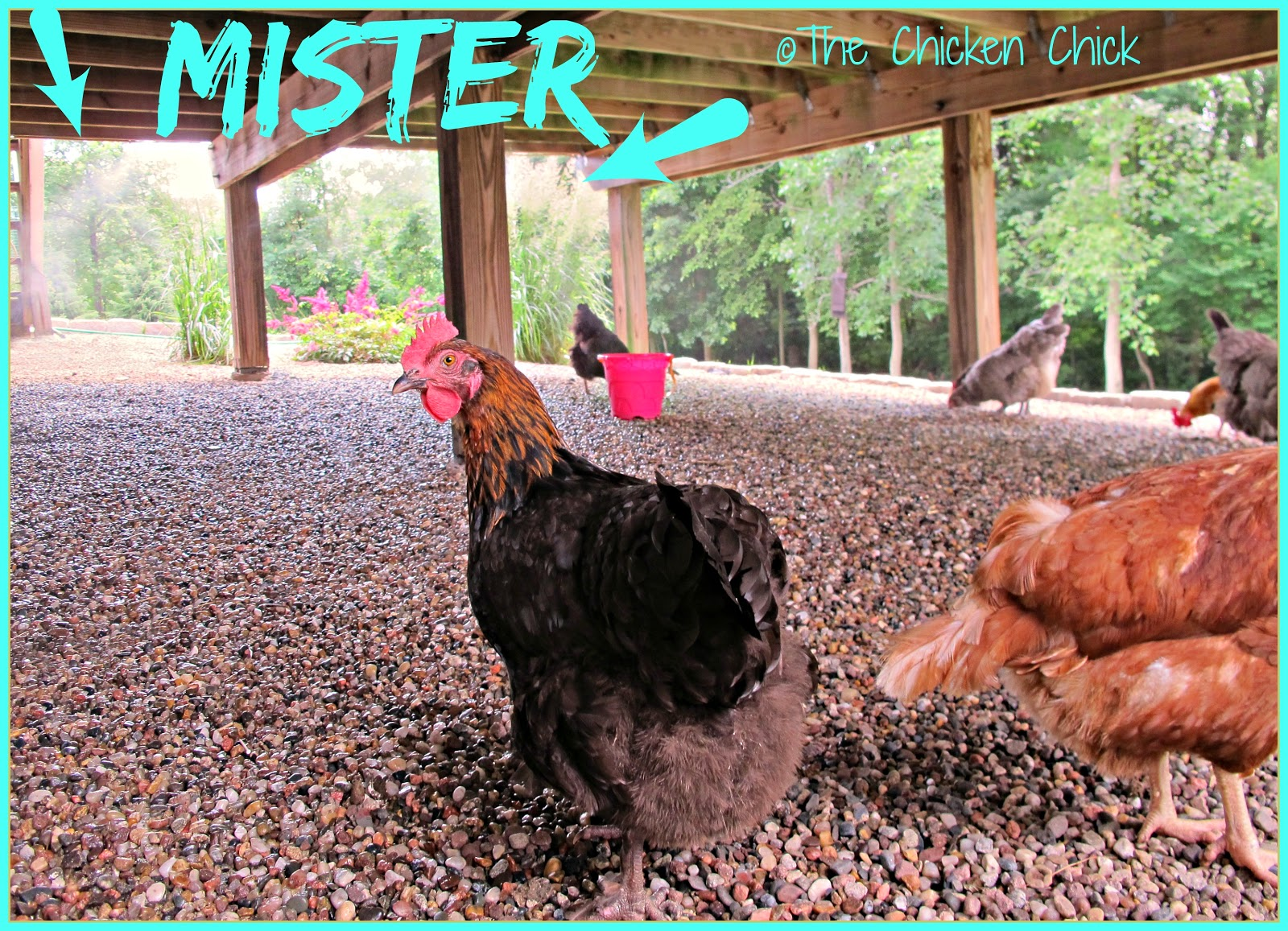 You can expect a temperature drop of 10-20° F in 40-80% humidity with a mister in the chicken yard.