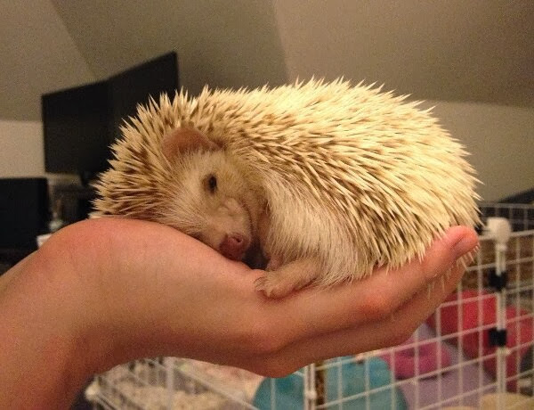 Funny animals of the week - 6 December 2013 (35 pics), hedgehog sleeps on human hand