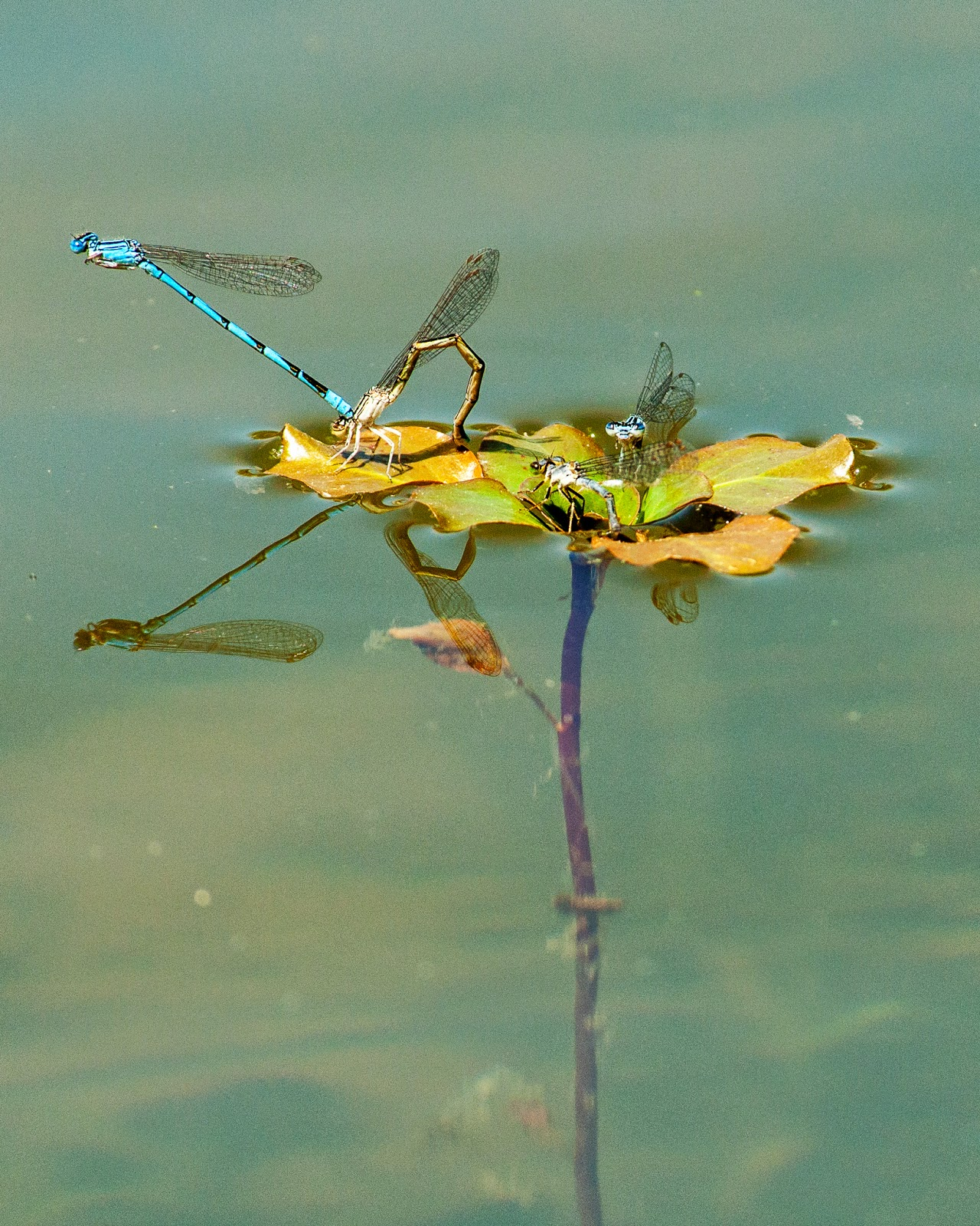 Mating Damselflies, Colleyville Nature Center