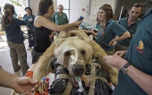 Chữa thoát vị đĩa đệm cho gấu
