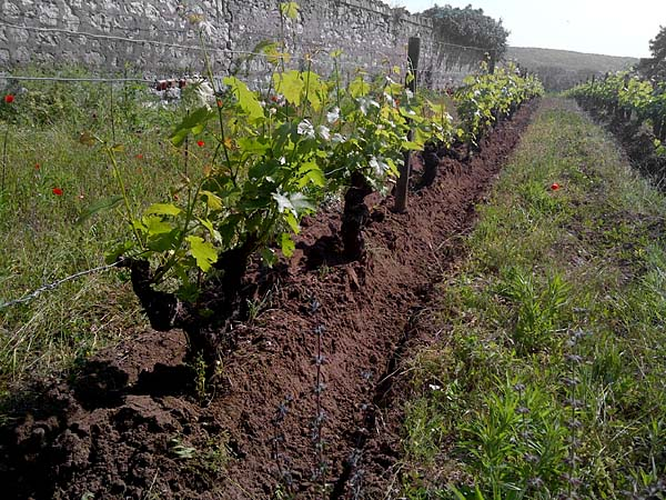 Percheron international en immersion dans la vigne - Entretien de la vigne ...