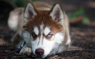 Husky Dog HD Wallpaper