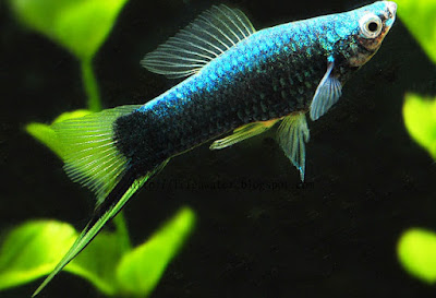 Black Swordtails