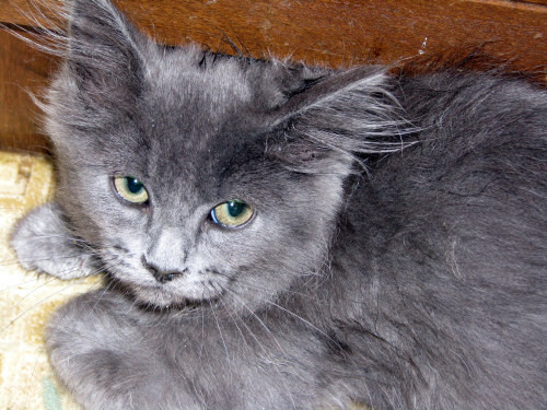 Long Haired Gray Cat Breeds Cats Types