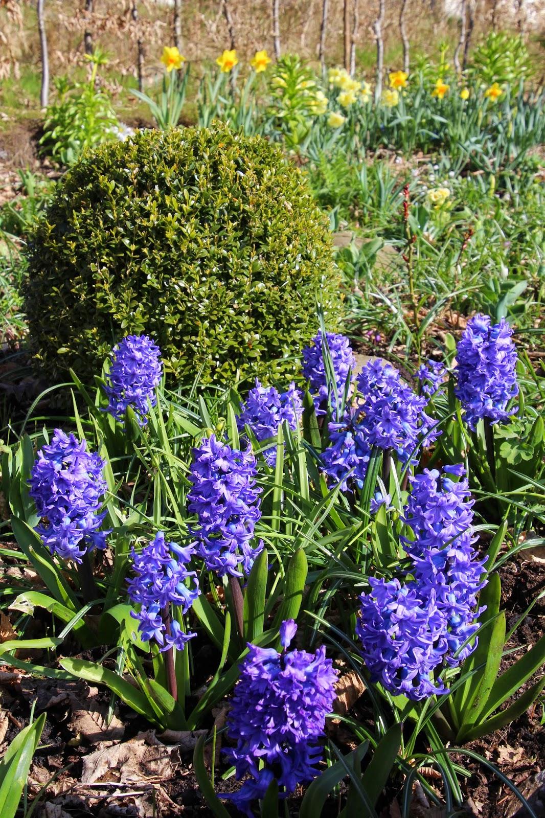 Trädgårdshyacint Hyacinthus orientalis 'Delfts Blå'