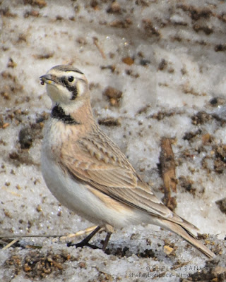 Female Horned Lark. Photo © Shelley Banks; all rights reserved.