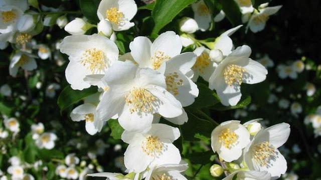 Ga perlu pakai Krim mahal Agar Terlihat Cantik Awet Muda! Cukup Gunakan Bunga ini!