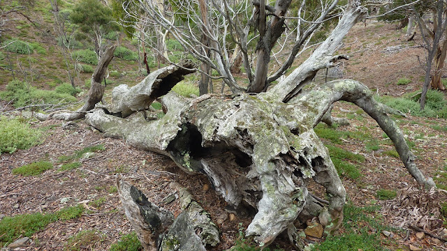fallen tree at werribee gorge park