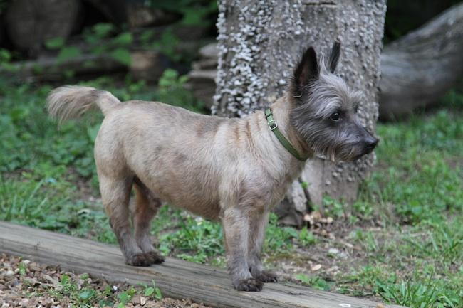 Cairn Terrier Summer Cut