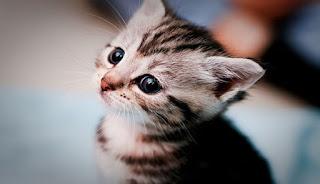 Anak Kucing Cantik