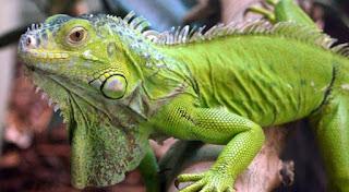 ¿Como distinguir el sexo en las iguanas?