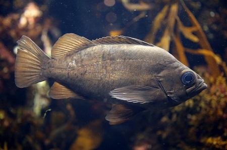 Black rockfish