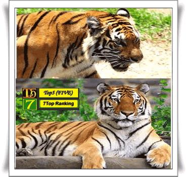 Harimau Malaya~ Panthera tigris malayensis