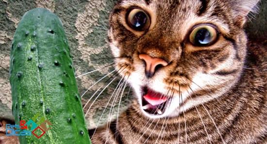 Pegadinha de gato e pepino