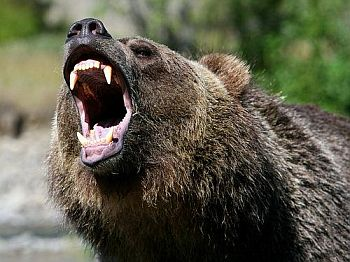 Roaring grizzly bear photos hd