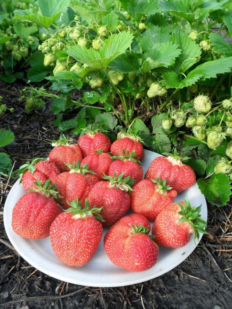 Первые ягоды клубники - самые крупные!