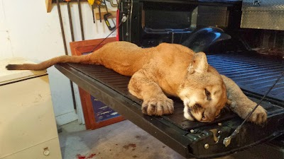 Wildlife biologists to examine cougar found in Illinois