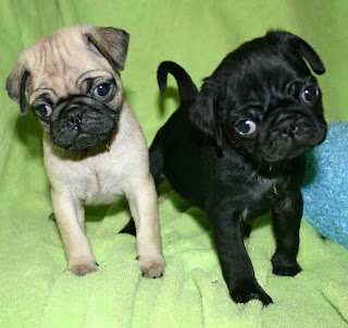 Pug Puppy Pictures