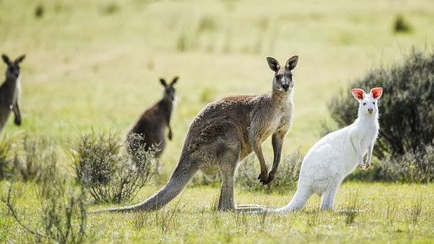 Rare_Albino_Kangroo_pics,Kangroo_in_Australia_exceptional_Kangroo_of Canbera