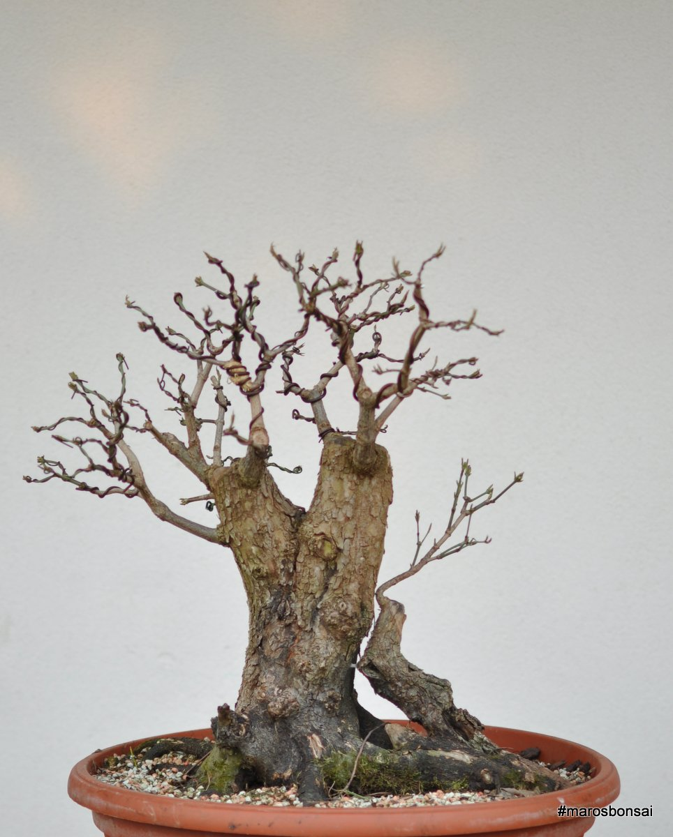 Maros Bonsai Blog Cornus Mas No3 Bonsai After Editing And Wiring
