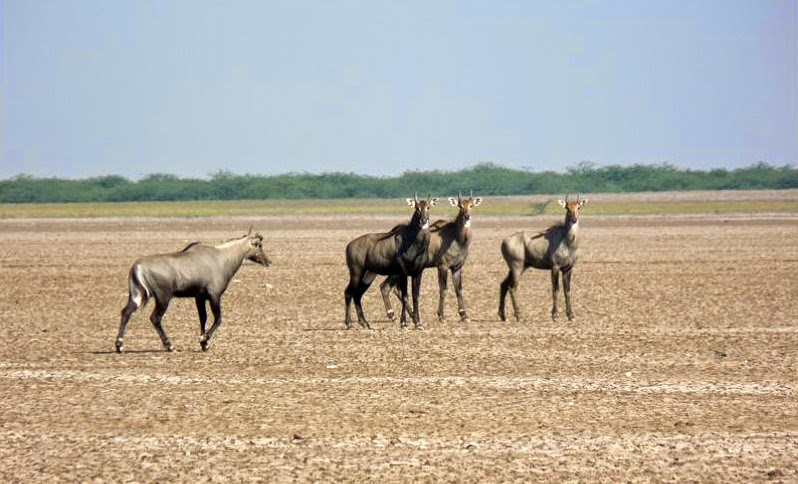 A herd of Nilgai