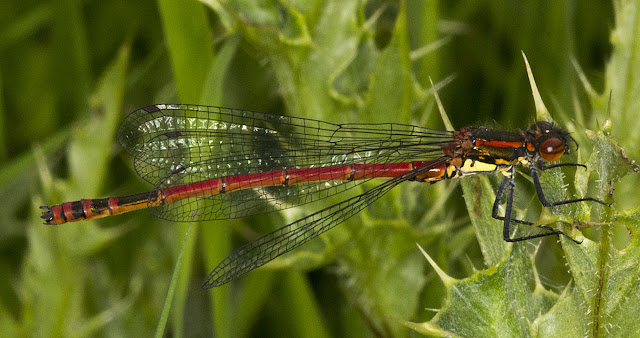 Large Red Damselfly, Pyrrhosoma nymphula.  Male.  In a riverside meadow near Leigh on 19 May 2012.
