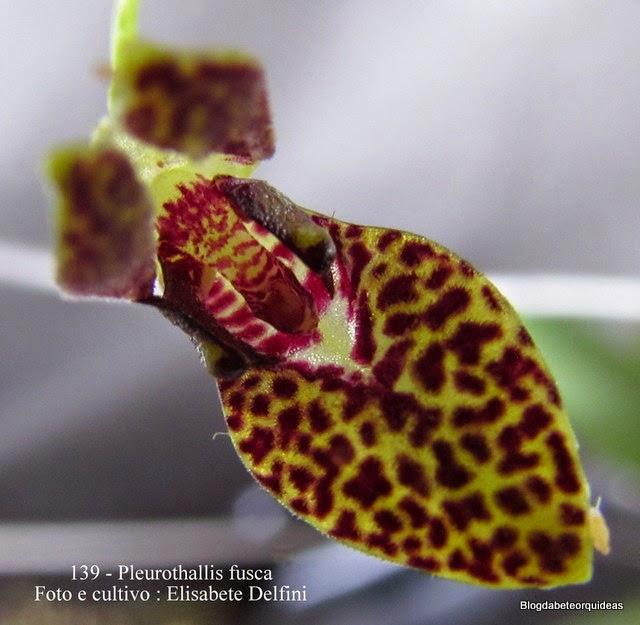 Peurothallis fusca