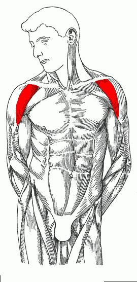 تمارين رياضية لتضخيم عضلة الكتف