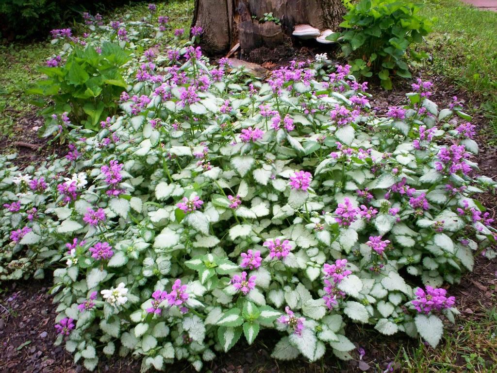 Deadnettle Cultivar - Lamium maculatum 'Beacon Silver'
