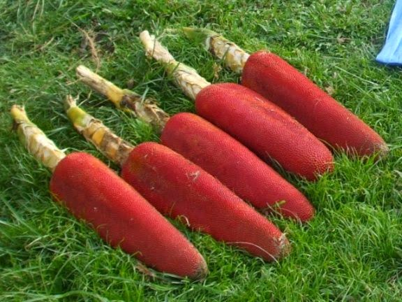 manfaat buah merah, khasiat buah merah dari papua