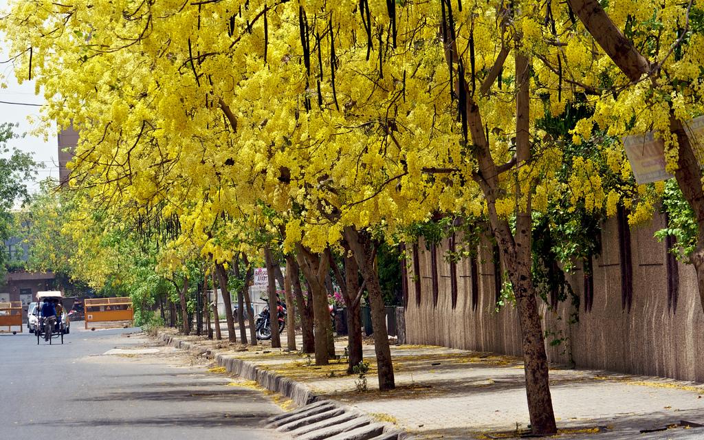 Happiness all around us flowering trees in india flowering trees in india mightylinksfo